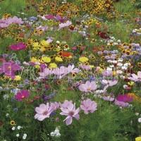 Kiepenkerl Tempo Blütenflor einjährig 1 kg Samen