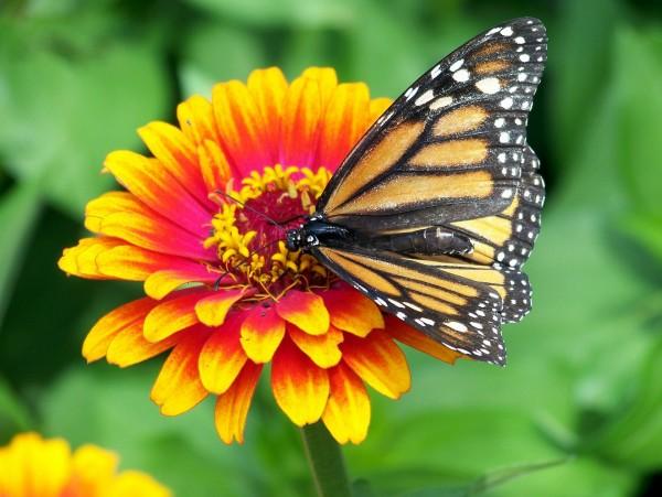 Rieger-Hofmann Schmetterlings- und Wildbienensaum