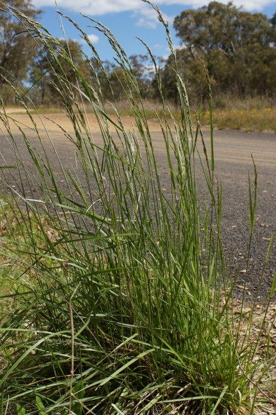 Festuca-arundinacea-rohr-schwingel