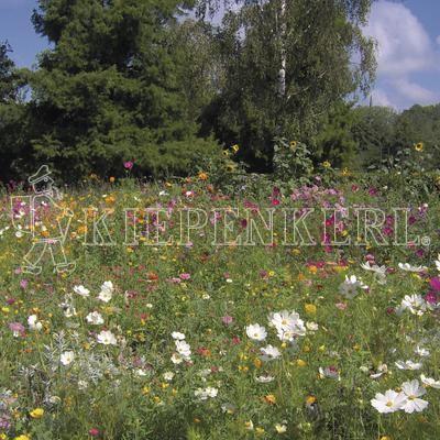 Kiepenkerl Ländliche Blütenwelle einjährige Blumensamen