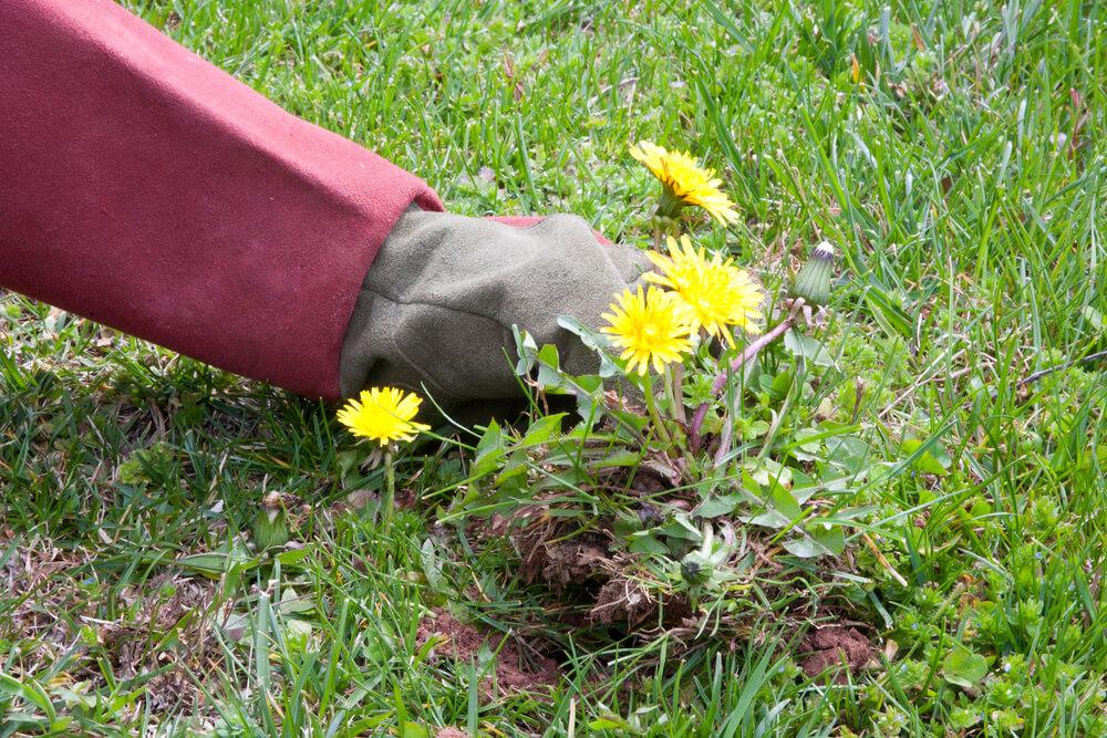 Unkraut vom Rasen begutachten und entfernen