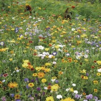 Kiepenkerl Karnevalsmischung einjährige Blumensamen